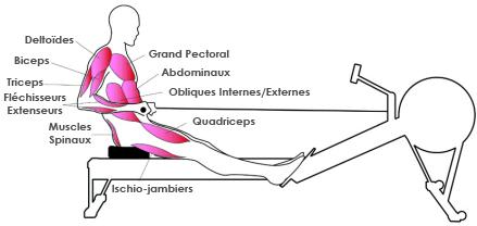 muscles-rameur